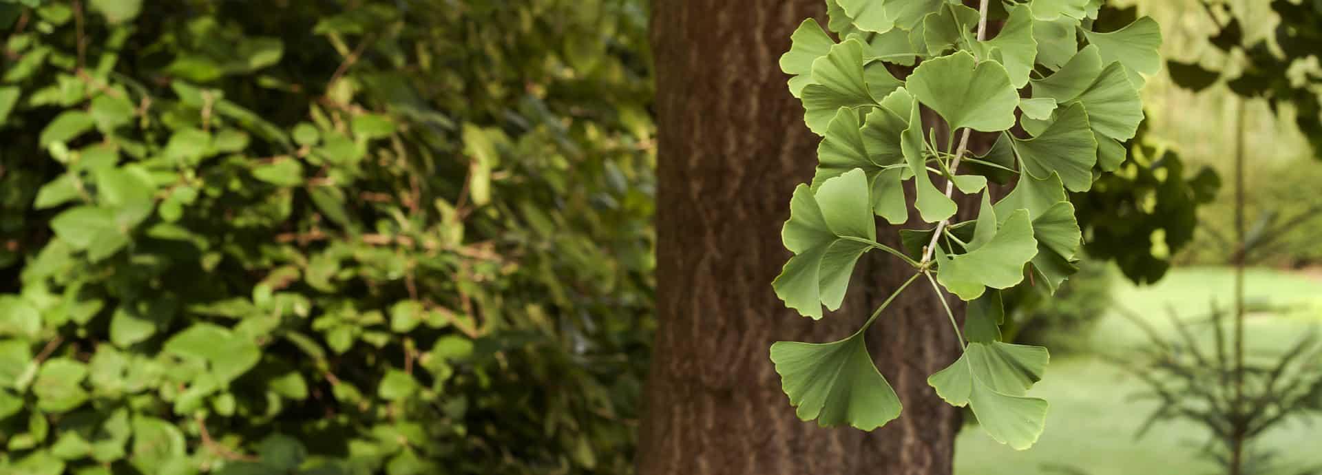 най-старото лековито дърво на света